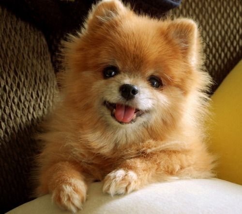 Perro Lulu De Pomerania Cute Animal Gifs And Pics