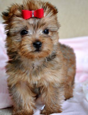 teacup morkie! Just like Nala but blonde!! a little