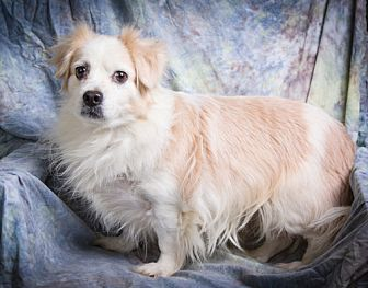 Anna, IL - Corgi/Spaniel (Unknown Type) Mix. Meet DIAMOND, a dog for adoption. https://www.adoptapet.com/pet/19642175-anna-illinois-corgi-mix