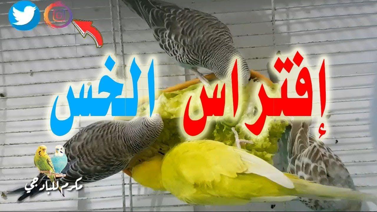 بهذا الصوت ستتزاوج طيور البادجي رغما عنها ان استوفت جميع الشروط Birds Bird Parrot