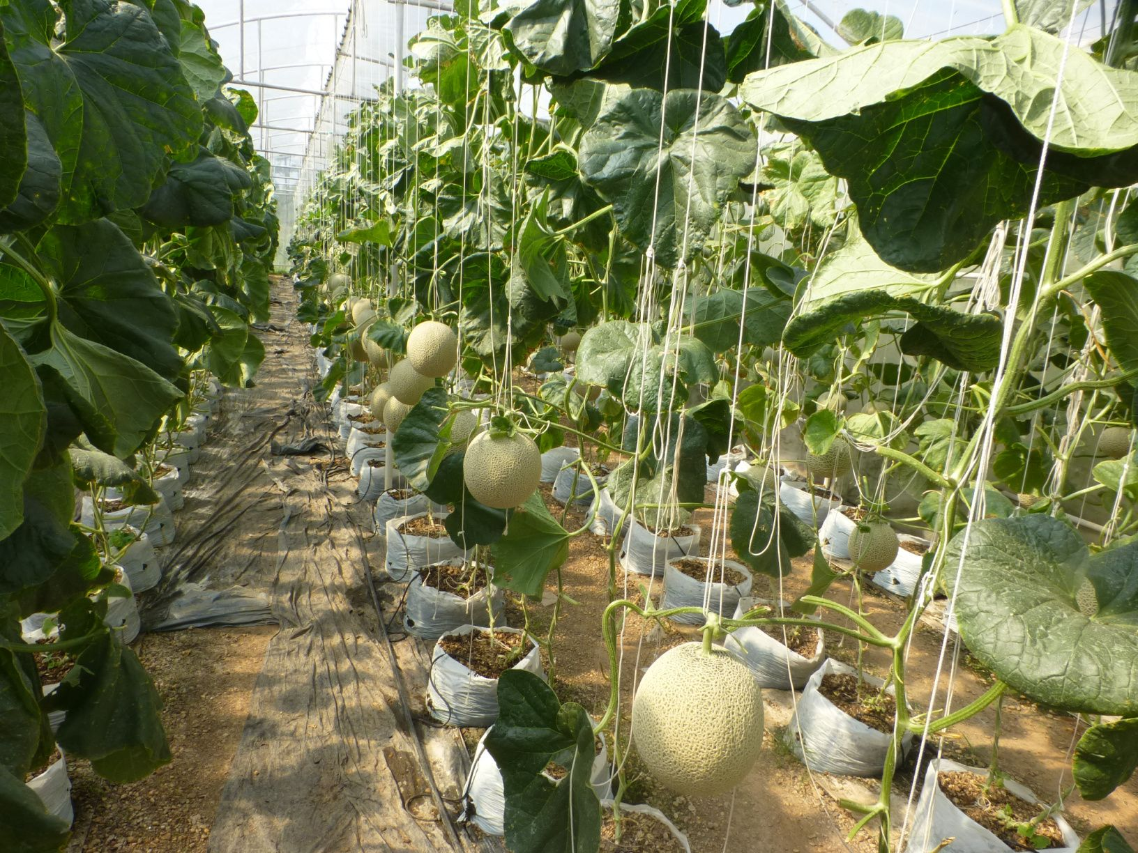 Growing Cantaloupe In Udon Thani I See 2 Places Now Growing Indoors Here Is Photos I Can Share With You All All The Melo Growing Cantaloupe Udon Thani Udon Download 1,674 cantaloupe growing stock photos for free or amazingly low rates! growing cantaloupe in udon thani i see