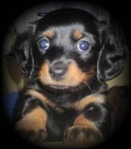 Longhaired Mini Dau Mini Dachshunds Longhaired For Sale In
