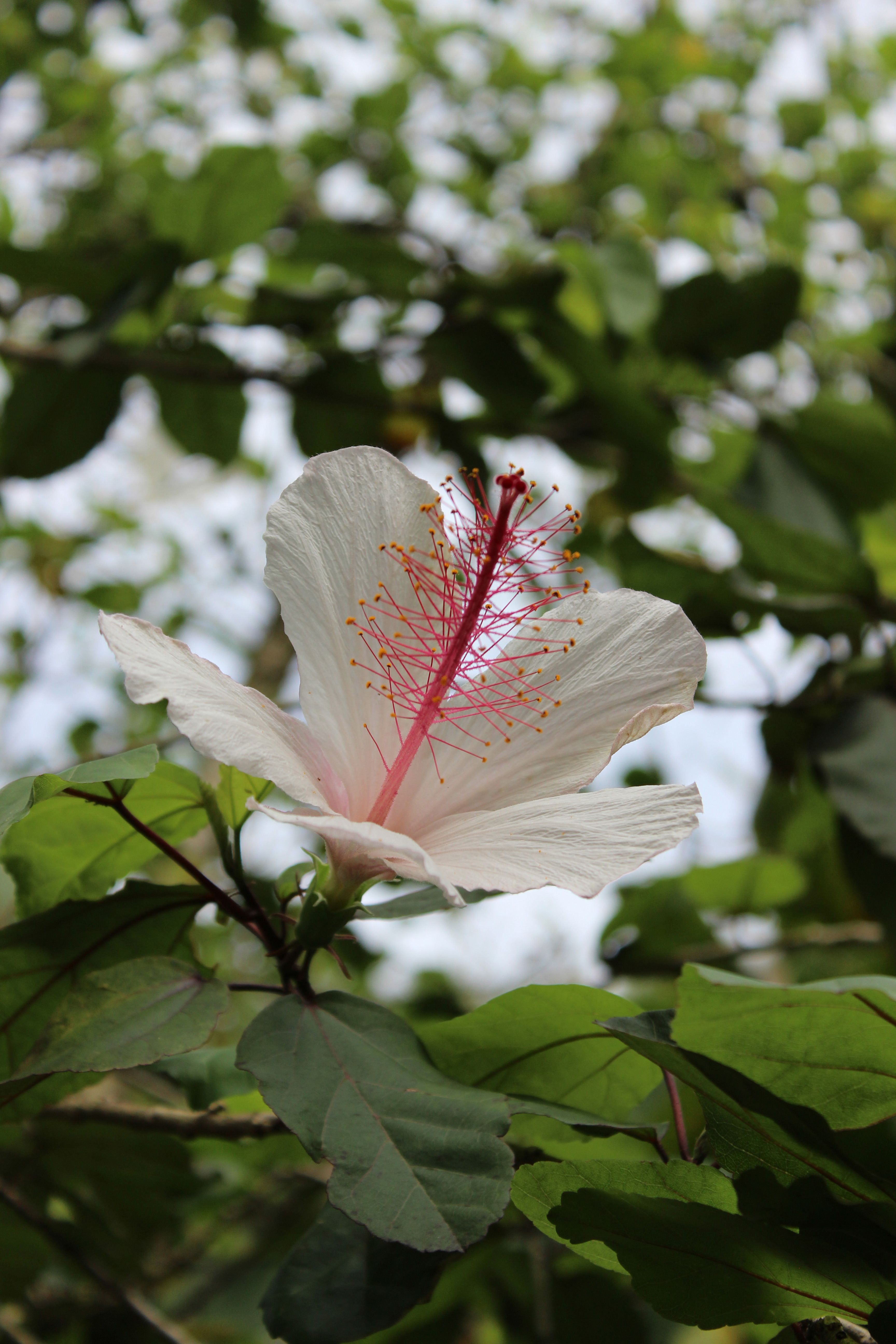I Love This White Hibiscus Flower Very Pretty Flower Plant