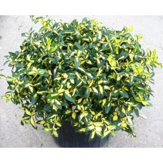 Moonshadow Euonymus With Images Shadow Plants Plants Lawn