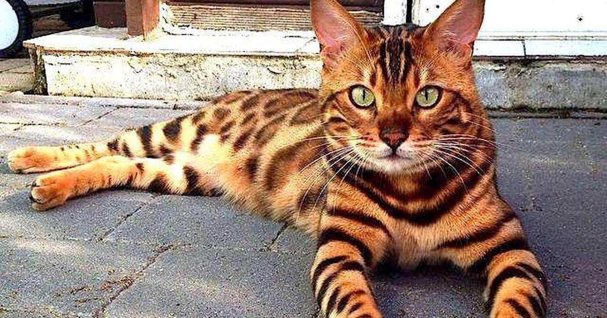 Pin by Margaret Lewin on PuddyCats in 2020 Bengal cat