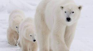 Scientists Say Polar Bears Headed For Disaster Unless Canada & Other Arctic Countries Come Up With Plans To Save Them
