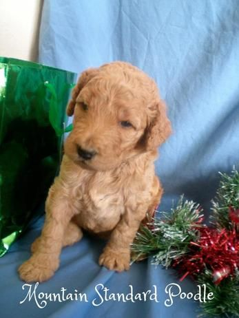 Mercedes Is All Ready For Christmas She Is A Dark Apricot Standard Poodle Puppy She Is 3 Weeks Old Poodle Puppy Standard Poodle Puppy Poodle