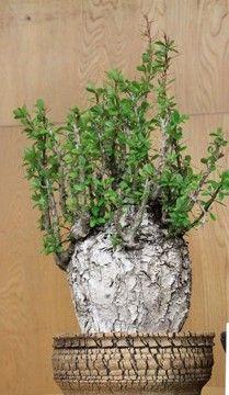 Caudiciform-Fouquieria fasciculata