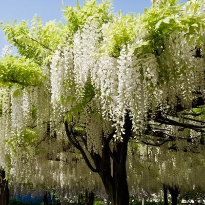 Selymes Lila Akac Shiro Kapitan Fuji Wisteria Shiro Kapitan Fuji Evelok Ar 4050 00 Ft Wisteria Tree Wisteria Plant Wisteria Pergola