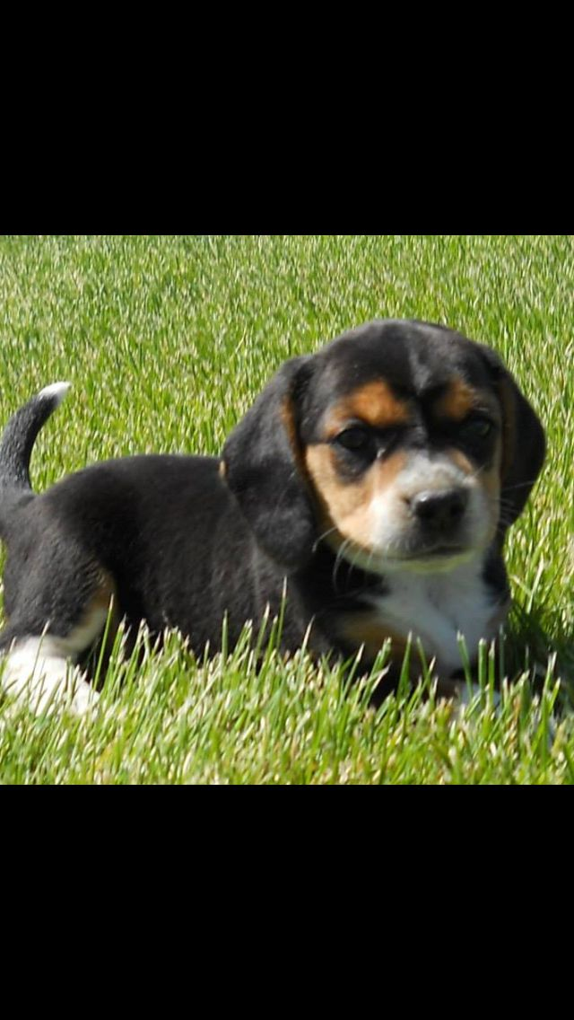 6 Week Old Beagle Puppy Lucy Puppies Beagle Puppy Cute Animals
