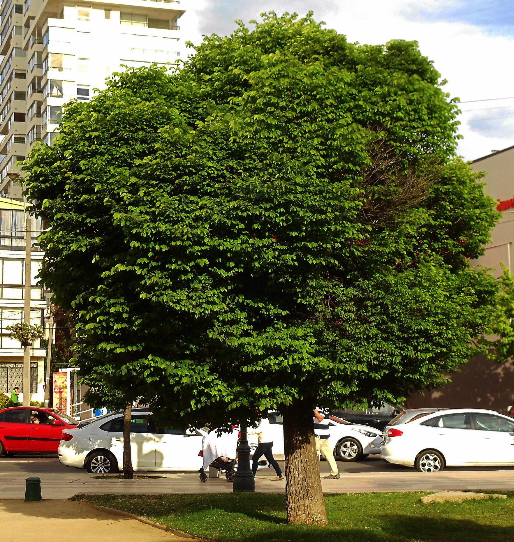Olmo ulmus americana l nuevas oficinas pinterest for Arbustos ornamentales de exterior