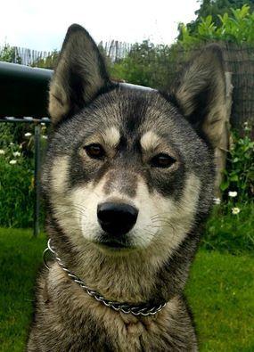 Krystal 9 Months Old Agouti White Siberian Husky F Beckiee