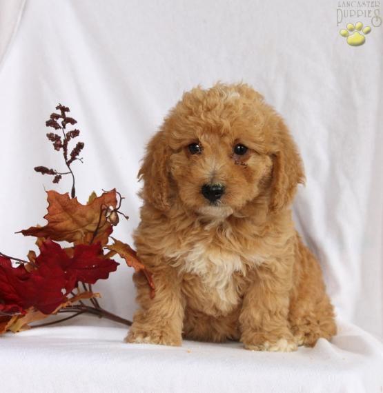 Ellie Mini Labradoodle Puppy For Sale In Gap Pa Lancaster