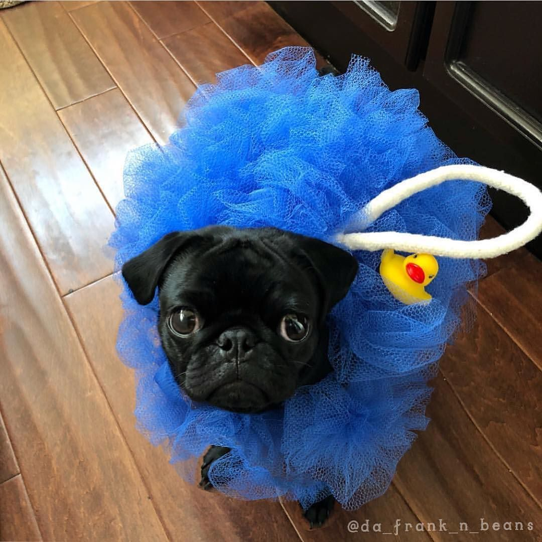 Cutest Halloween Outfit Ever Pugs In Costume Pugs Cute Pugs