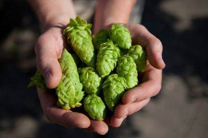 If you brew your own beer, growing your own hops can be extremely rewarding. It's fairly easy and a lot of fun. Here's how to grow hops at home.