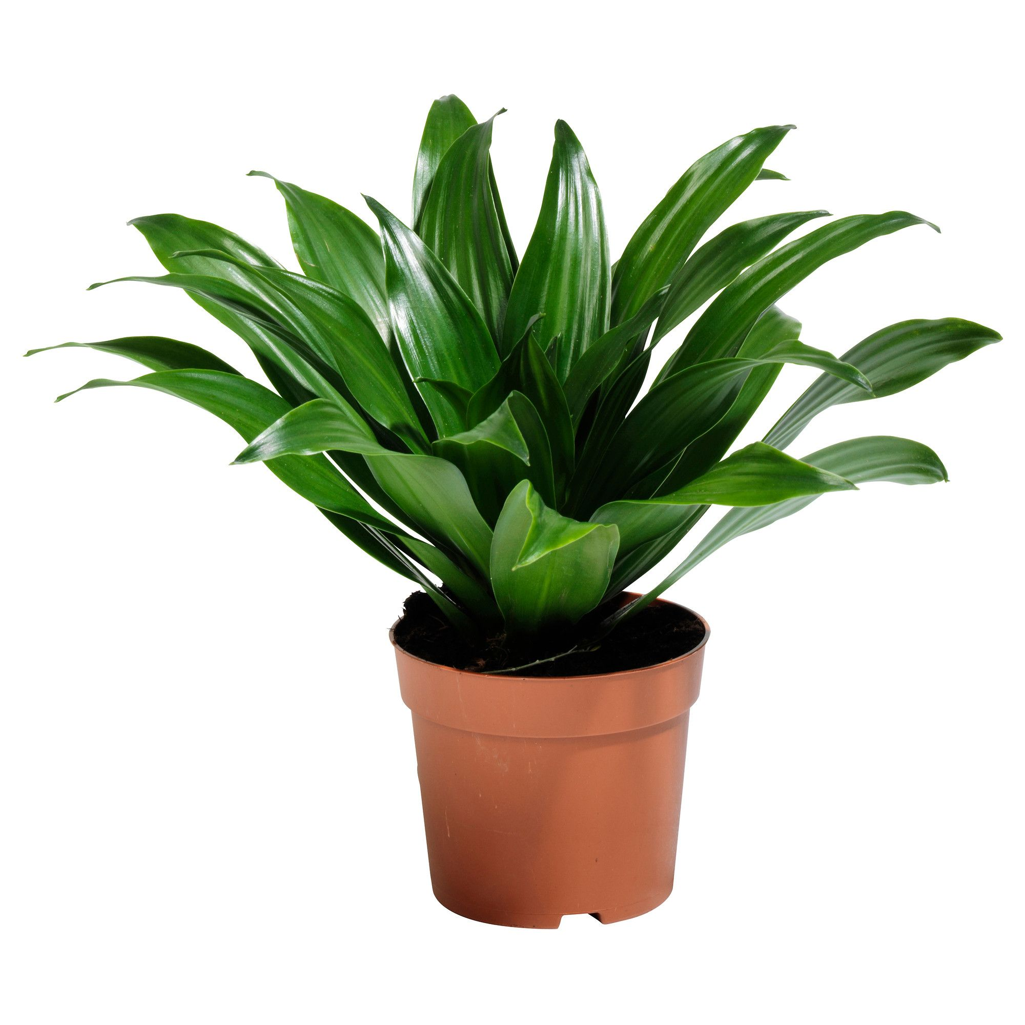 Dracaena janet craig potted plant ikea yes this has for Ikea plantes