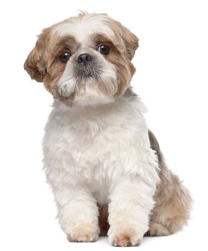 Charley Cleo Beans Or Sweetie Would Make Great Shih Tzu Names For Boys
