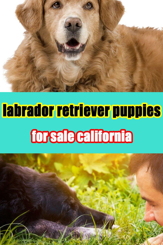 labrador retriever puppies for sale california in 2020