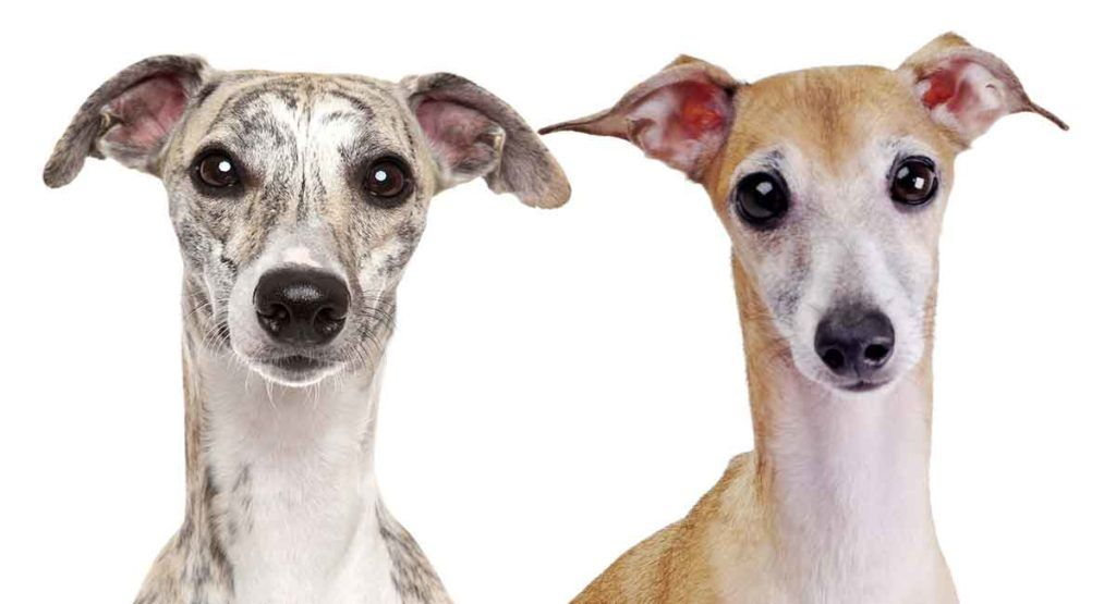 Whippet vs Italian Greyhound The Difference Between