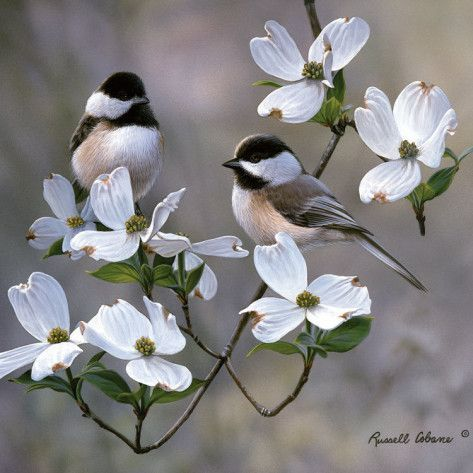 wasbella102:  Chickadees by Russell Cobane