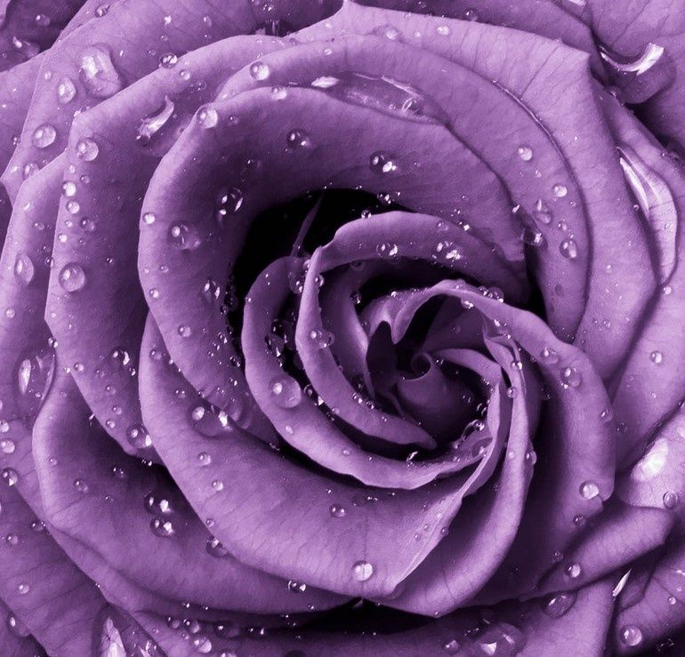 Lavender Roses Rose With