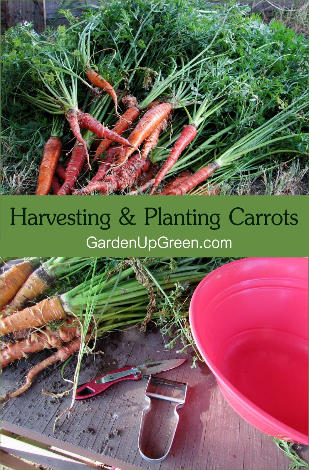 Planting Tips And Harvesting Carrots Harvesting Carrots 400 x 300