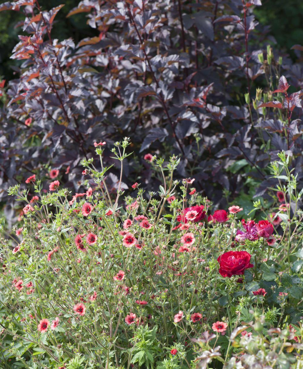 Diabolo Rot Wie Der Teufel Teufelsstrauch Pflanzen Rote Straucher