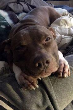 Photo of Las 15 fotos más adorables de Pit Bull Puppy de todos los tiempos en 2019. ¿Las amas? Por favor …