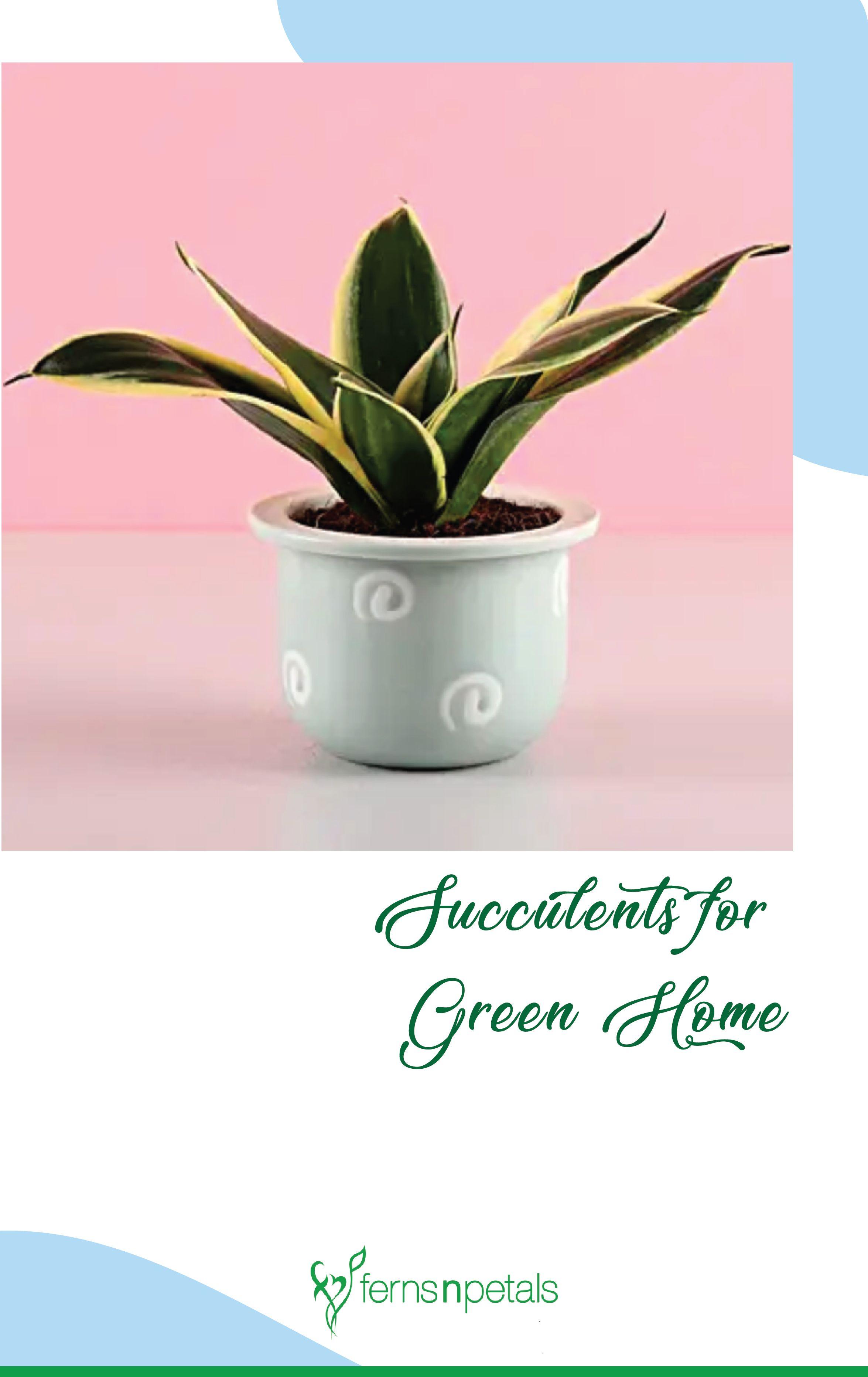 #FernsNPetals #Plants #ZebraPlantIdeas #Haworthia #SucculentPlants #BirthdayGiftIdeas #Birthday #Gifts #OnlineGiftsStore #GiftIdeas #HomeDecor #HomeDecorItems #HomeDecorIdeas