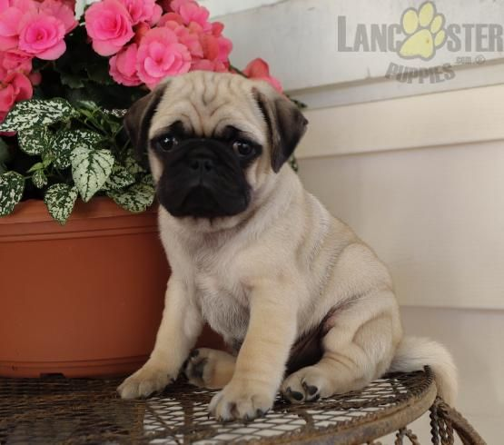 Brutus Pug puppies, Pug puppies for sale, Pug puppy