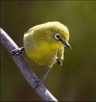 suara burung pleci ngalas Mp3 219dbbd4e1