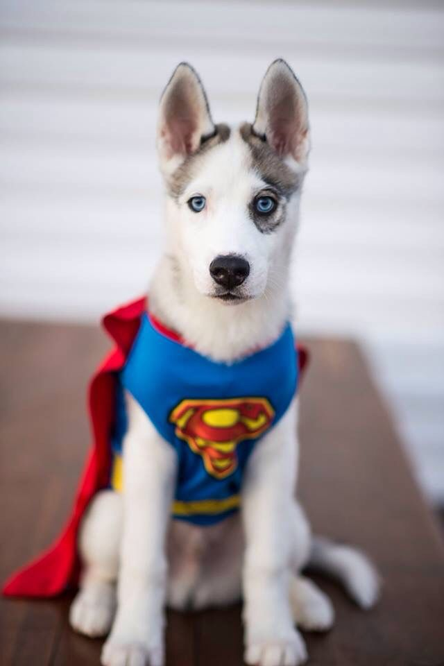 Superman Husky Halloween Dog Costume Diy Dog Costumes Dog