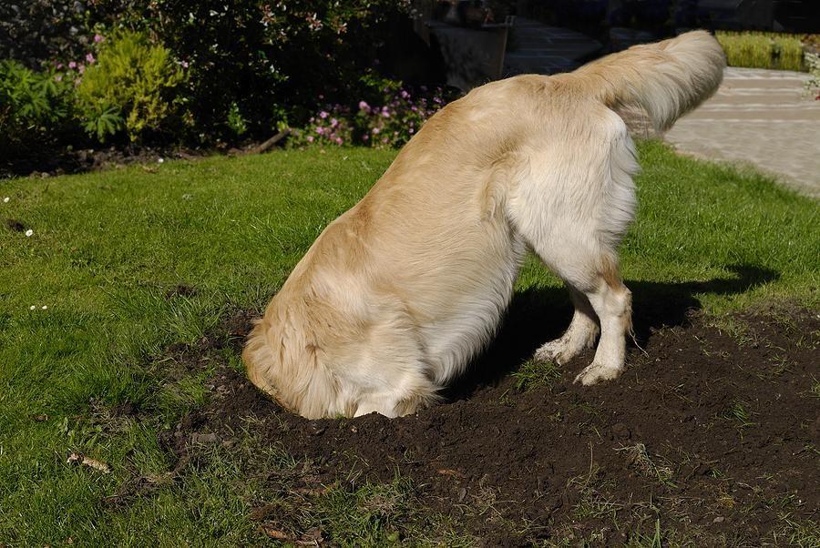 Por que os cachorros enterram coisas Material do cão