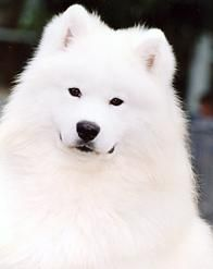 Samoyed. Looks just like my Hilde!!!