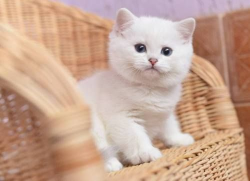 Lilac Tabby British Shorthair Google Search Cute Cats Gorgeous Cats Beautiful Cats