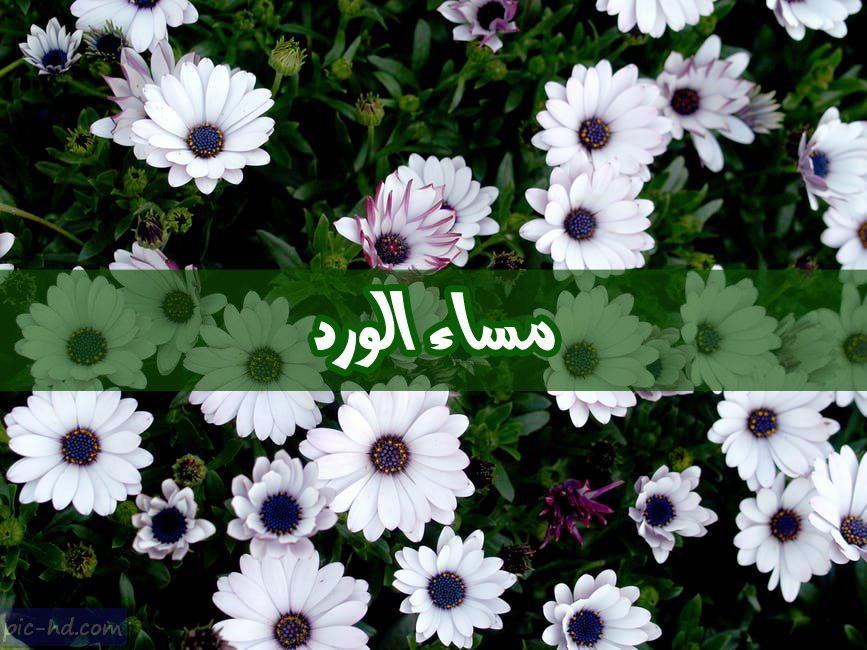صور مساء الورد صور مكتوب عليها مساء الورد والياسمين Rose Image Plants