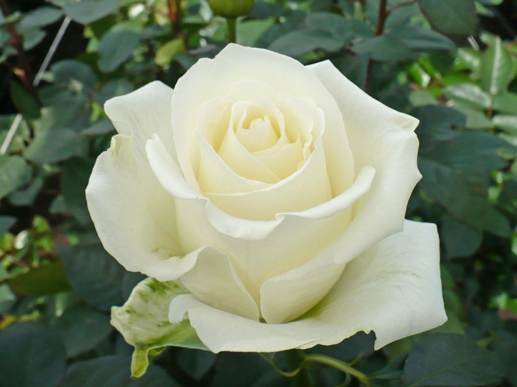 Tibet Is A White Rose And Blooms Medium-sized