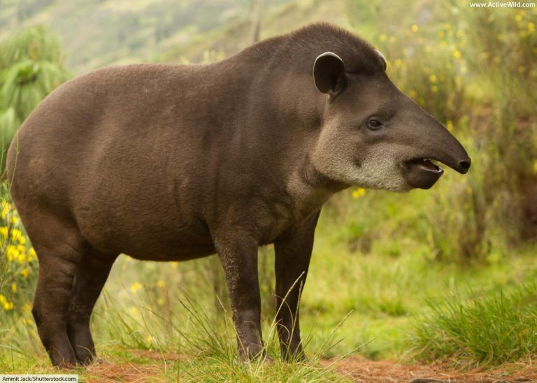 Tapir Facts Pictures Video Learn About This Rare Rainforest