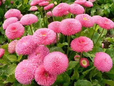 Howstuffworks English Daisy Profile Of And Annual Flower Annual Flowers Chrysanthemum Flower Seeds Flower Seeds