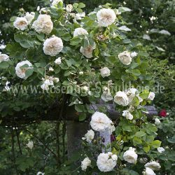 colonial white 4 weiss rambler kletterrosen rosen. Black Bedroom Furniture Sets. Home Design Ideas