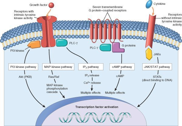 Cell Cycle and the Regulation of Cell Replication- growth factors