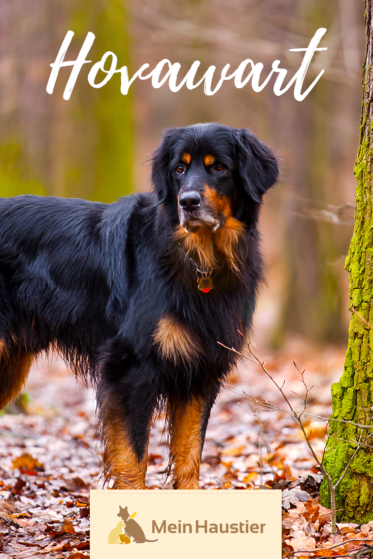 Der Hovawart Ist Ein Eleganter Und Eigenstandiger Wachhund Mit Einem Freundlichen Wesen Heutzutage Ist Die Rasse Vor Al Hunderassen Hunde Rassen Hovawart Hund