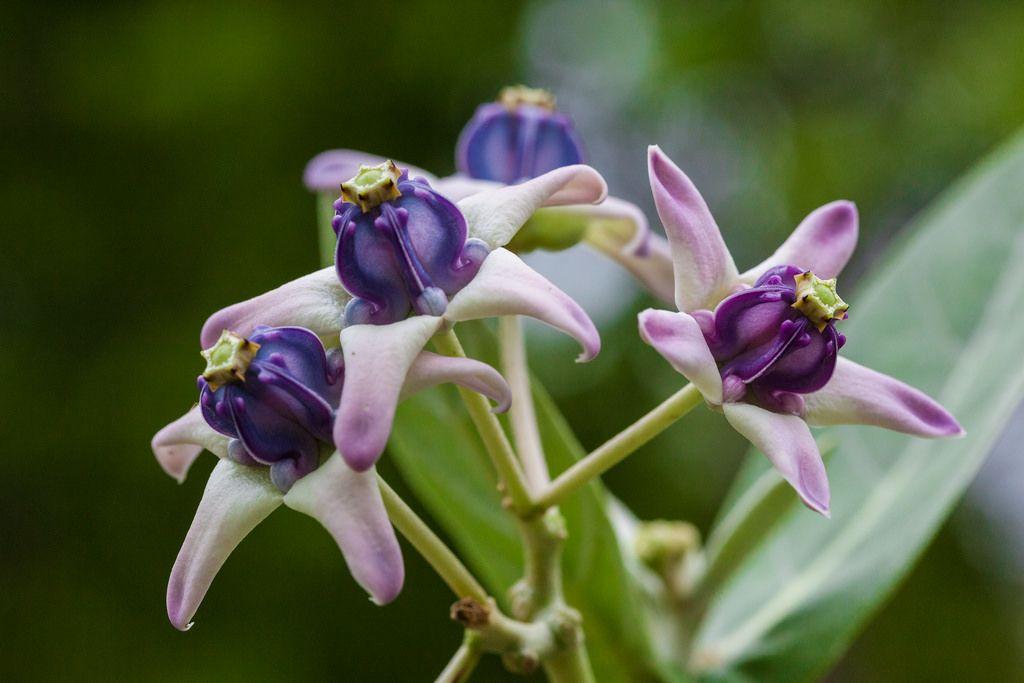 Calotropis Gigantea Crown Flower Flower Crown Flower Beauty Flowers