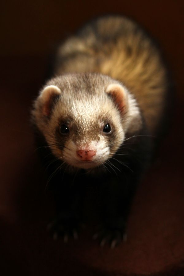 I Adore Ferrets One Day I Will Own A Ferret Http Www