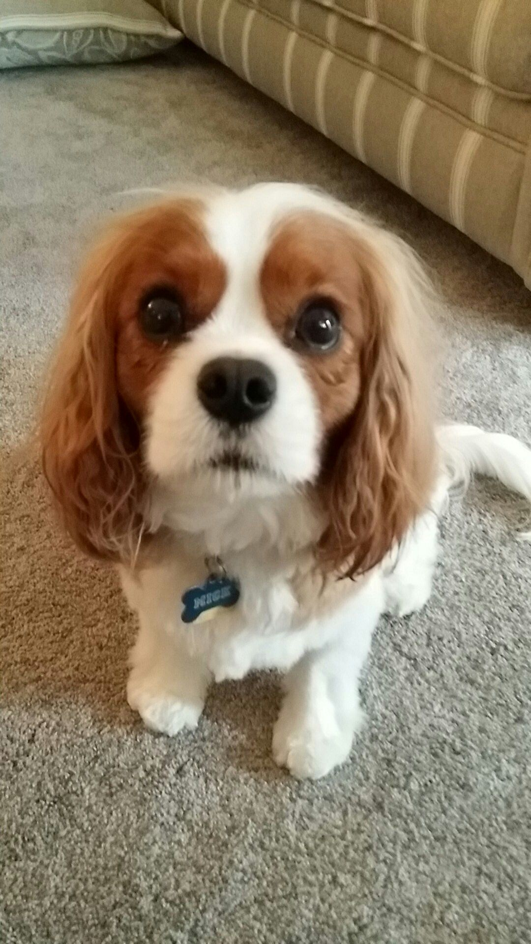 New Hair Cut Cavalier King Charles Pinterest Hair Cuts King