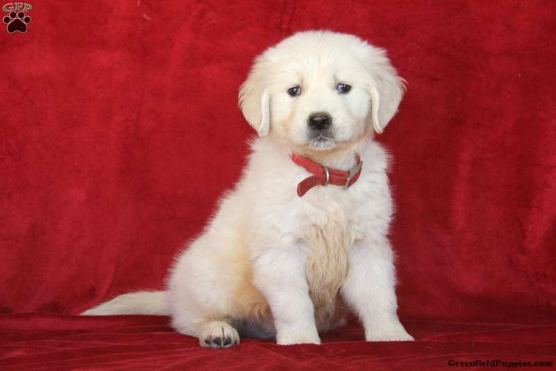 Bernie Golden Retriever English Cream Puppy For Sale In
