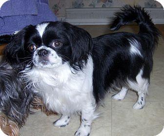 Gidget Adopted Dog Elkhart In Japanese Chinshih Tzu Mix