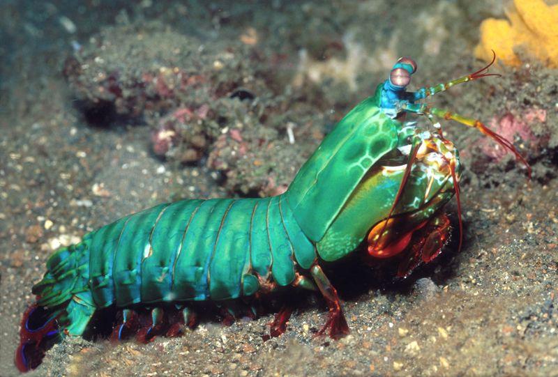 Peacock Mantis Shrimp | mantis shrimp are distant relatives of ...