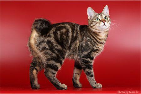 Kurilian Bobtail American Bobtail Cat Pretty Cats Bobtail Cat