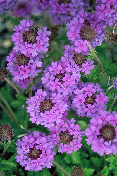 Florida Ground Cover Full Sun: Verbena Homestead Purple. Full Sun. Well- Drained Soil